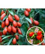 20 Goji Berry (Lycium Barbarum) Fruit Shrub Seeds, Goji Berry Fruit Shru... - $1.69