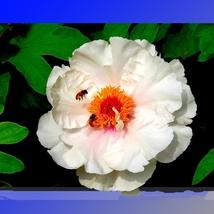Rare 'Fu Yin' White Pink Peony Seedling Flower Seed 5 Seeds/Pack Fragrant Flower - $5.90