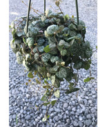 "Live Rooted-Ceropegia woodii-String of Hearts Succulent 6"" Pot Nice Gift... - $37.05"