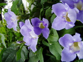 Outdoor Living – Garden - Thunbergia Grandiflora Blue Sky Vine Plant - tgi - $51.95