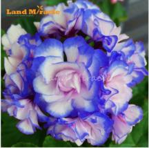 5 SEED Rare 'Night Blue' Geranium Seeds Appleblossom Rosebud Pelargonium A - $4.65