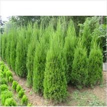 Cypress Trees Platycladus Thuja Orientalis Seeds Conifer Bonsai 20 pcs /... - $2.16