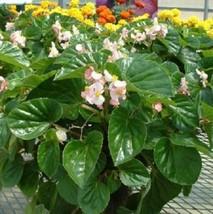 150 Pelleted Seeds Begonia Seeds Higro Pink flower seeds Garden & Outdoor Living - $55.99