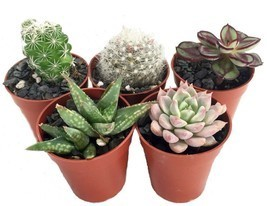 "Plants Fairy Succulent Collection Gardens Terrarium 5 Plant 1.75""Pots Ou... - $23.93"