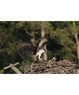 Osprey Bringing Dinner to the Nest 1 Photo - Various Sizes - $7.50+