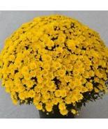 MUMS BALL ZINGER YELLOW  5 Live Plants Plugs Home Garden Fall Planters - $25.00