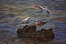 11 x 17 Beautiful Photograph Art on Metal, Seagulls in Aruba - $59.95