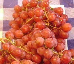 Vanessa Red Seedless Grape Vine 1 gallon Live Plant Home Garden Easy to Grow - $33.90