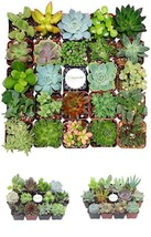 Plant Fully Rooted Succulents Unique Succulent Collection of 12 Plants 2... - $46.03