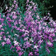 25 Evening Stock Jasmine Seeds-1185 - $3.98