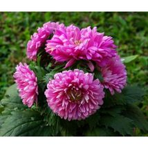 Duchess Pink Paeony Aster Flower 30 Seeds #SFB11 - $18.17