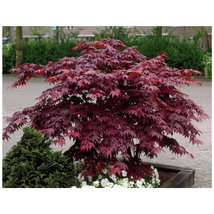 Bloodgood Japanese Maple gallon pot image 3