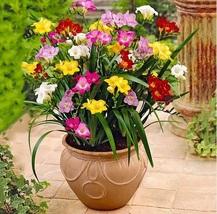 100 seeds Mix Freesias seeds , gorgeous DIY home garden colorful & fragr... - $2.13