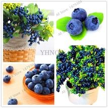 100 pcs Blueberry flores Tropical Fruit Trees plante Outdoor Garden Potted - $2.95