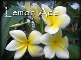 Lemon Ade Hawaiian Lei Tree Plumeria Frangipani cuttings Rare Exotic - $9.95
