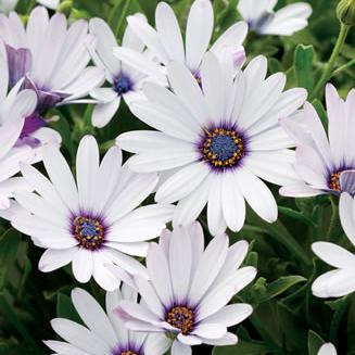 120 Seeds Osteospermum African Daisy Sky Ice O Ecklonis White Purple Eye Flower