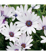120 Seeds Osteospermum African Daisy Sky Ice O Ecklonis White Purple Eye... - $9.25