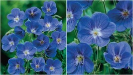 156 - 10 Blue Geranium Seeds Perennial Flower Seed Bloom Flowers – RR01 - $21.95