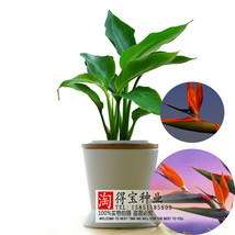 Rushed New Strelitzia Reginae Seed Family Potted Garden Landscape Easy T... - $7.80