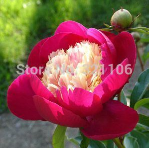 10//BAG Rare Heirloom Sorbet Robust Colorful Double Blooms Peony Tree Seeds Easy Care Plants