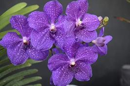 "Strap Leaf Vanda Orchid Hawaiian Starter Plant 2"" Pot - $29.99"