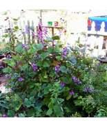 Red Leaved Hyacinth Bean Vine Seeds | Dolichos Lablab Redleaved Seeds | ... - $12.34
