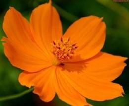 SHIP FROM US 35 Seeds Cosmos Cosmic Orange,DIY SB Flower Seeds - $27.99