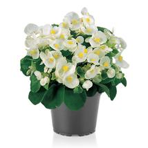 100 Pelleted Begonia Seeds Super Olympia White BUY FLOWER SEEDS - Outdoor Living - $39.99