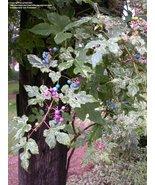 """"""" 20 PCS SEEDS Variegated Porcelain Berry Vine 'Elegans' Vine Plant Seed... - $10.68"""