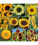 Sunny Sun Power Sunflower Mix, 10 Species, Variety Sizes 16k - $85.14