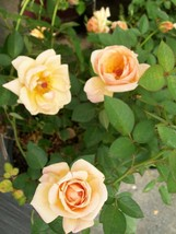 Southern Peach Apricot Yellow Rose 2 Gal Live Bush Plants Mini Plant Fine Roses - $44.50