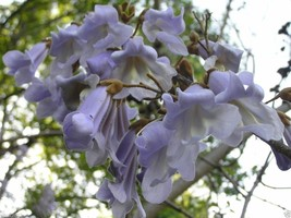 ROYAL Paulownia Empress Tree (500 seeds) Perennial The fastest Growing tree - $10.88