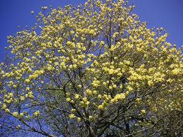 Yellow Bird Magnolia image 4