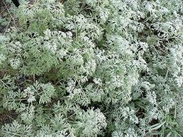 Absinthe Wormwood Common Artemisia Absinthium Green Ginger Herb Flower j... - $8.91