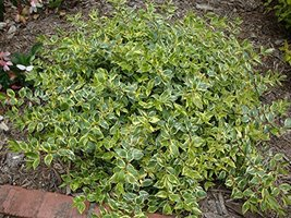 Glossy Abelia aka Abelia Grand. 'Radiance' Live Plant Fit 5 Gallon Pot - $29.99