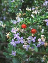 Lycium carolinianum, Florida native tree christmas berry bonsai seed 100 seeds - $36.00