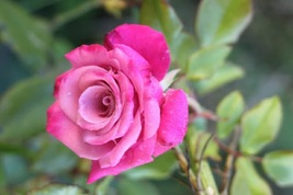 Rose Bush Starter Plant - **Deja Blu** - Ships Without Pot - Gardening - $70.00