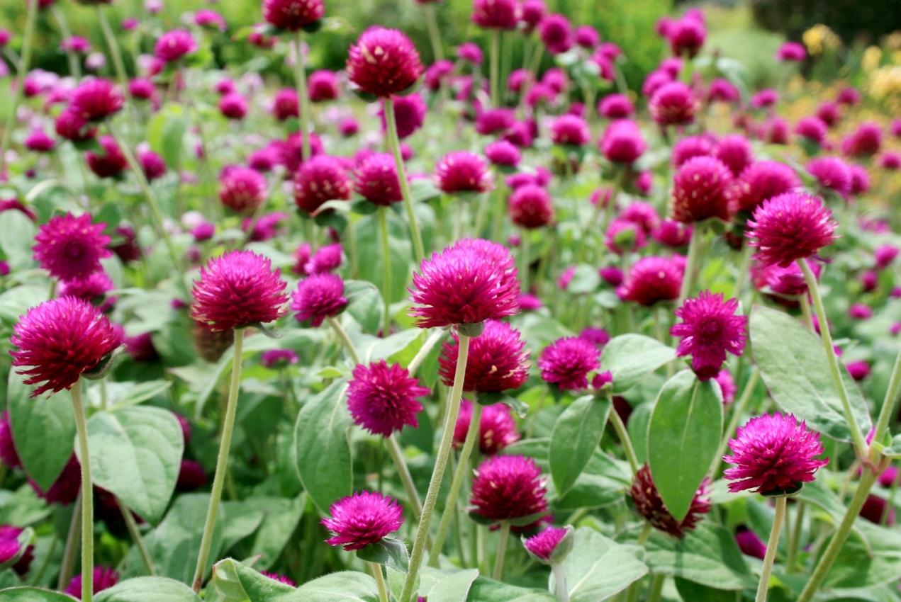 Gomphrena Seeds Purple Color Flower Seeds # 40 pcs - $4.99