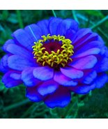 100Pcs Rare Blue Zinnia Bonsai Plants Potted Charming Chinese Flower Seeds - $9.20