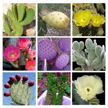 10 seed Cactus Opuntia mixed seeds Amazing Flower  - $5.00
