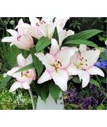 HAPPY FLOWER 2 Bulbs KESATRIAN True Lily Bulbs Perfume Flower High germi... - $2.99