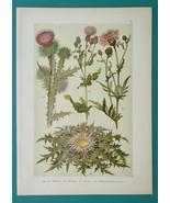 BOTANICAL PRINT 1896 Color Litho - THISTLES Creeping Cotton Carline Knap... - $16.20