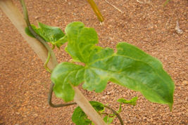 Live Plant- African Yam Starter Plant (5 starter plants) - $33.95