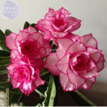 Adenium Whitish Light Pink Flowers with rose red edge seeds, 2 seeds, 10... - $4.20
