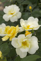 "Rose Bush Starter Plant ""Sunny Knockout"" - Ships Without Pot - Gardening - $70.00"