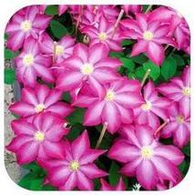 20 Plants Vine Clematis potted clematis garden (8), HZ Beautiful Flower ... - $8.89