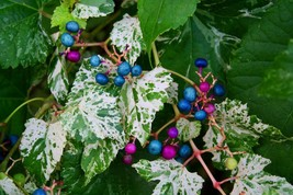 "2.5"" Pot - Porcelain Vine Plant - Ampelopsis brevipedunculata - Garden -... - $50.00"