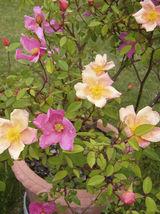 25 Seeds - Mixed Colors Angel Wings Miniature Rose #SFB15 - $17.99