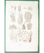NATURAL HISTORY Anatomy of Zoophytes - 1836 Sepia Color Print - $4.98