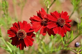 Tall Red Plains Coreopsis 300 Flower Seeds - $15.98